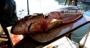 Арголида: вторая акула за последние два дня